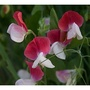 "Sweet Pea ""Painted Lady' (Lathyrus odoratus (Sweet Pea))"