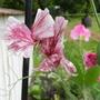 Sweet Pea 'Senator' (Lathyrus odoratus (Sweet Pea))