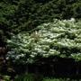 Viburnum plicatum f. tomentosum (Viburnum plicatum f. tomentosum)