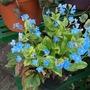 Blue_flowers_130421_1_