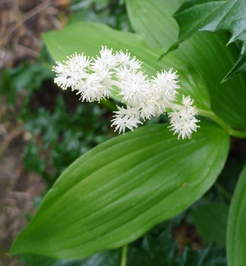 Maianthemum racemosum - 2013 (Maianthemum racemosum)