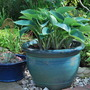 Blue Hostas in blue pot..... (Hosta Wide Brim)