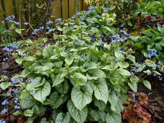 Brunnera macrophylla 'Jack Frost' (Brunnera macrophylla (Brunnera))