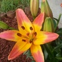 Coral Sunrise (Asiatic Lily)