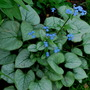 Brunnera looking Glass (Brunnera macrophylla (Brunnera) Looking Glass)