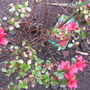 Azalea Hino Crimson (Azalea Japonica)