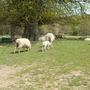 Lovely Lambs in the Estate of Scotney Castle, Lamberhurst, Kent