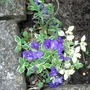 Aubretia_variegated_vistabilefrontneardoor08may2013