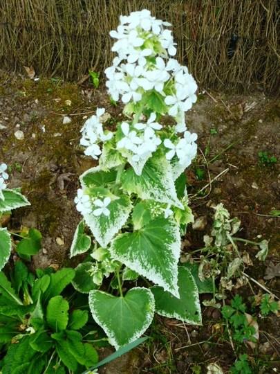 Honesty  varigated   Alba    (Lunaria annua)