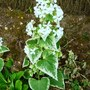 Honesty  varigated   Alba    (Lunaria annua)