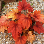 Heucherella_sweet_tea_