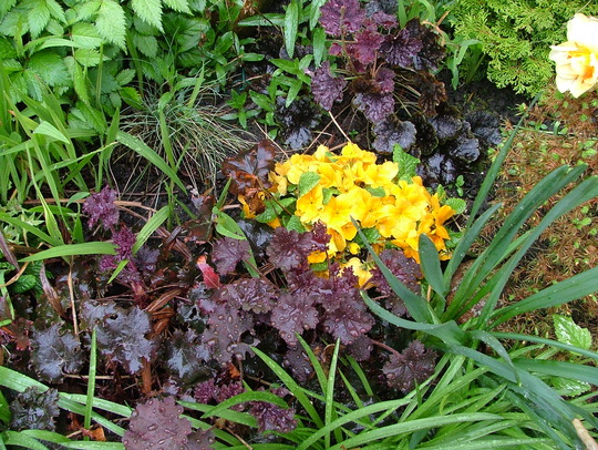 primroses and heuchera
