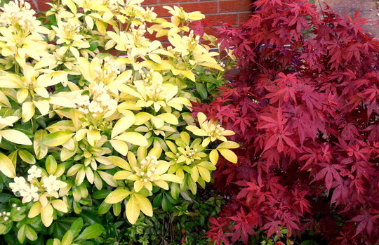 Choisya & Acer 'Skeeter's Broom' (Acer palmatum 'Skeeter's Broom')
