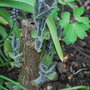 Paulownia on it's way......... (Paulownia tomentosa (Foxglove tree))