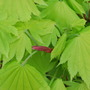 Acer leaves (Aureum) (Acer Shir. Aureum)