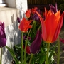 At last, the purple tulips have caught up with the red ones!