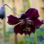 Geranium phaeum Samabor/Samobar/Samobor (Geranium phaeum (Mourning widow))
