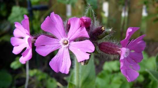 Red Campion (Silene 'Rolly's Favourite')...Spring! (Silene dioica (Red Campion))