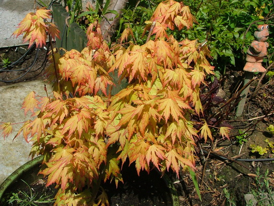 acer (orange dream)