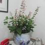 Hummingbird Sage (Salvia coccinea (Sage))