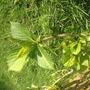 Hydrangea (Hydrangea aspera (Hydrangea))