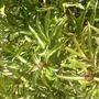 Peony Rose (Paeonia suffruticosa (Moutan))