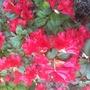 Rhododendron (Rhododendron ponticum (Azalia))