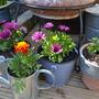 Osteospermum & Marigolds