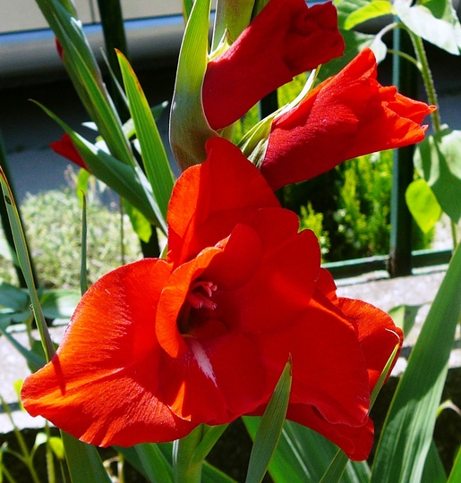 Red Gladioli (Gladiolus grandiflorus)