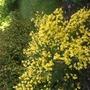 Allgold Broom (Cytisus Praecox)