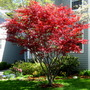 Red Blood Maple