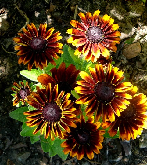 Gaillardia (don't know which one) (Gaillardia aristata (Blanketflower))