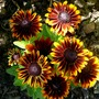 Gaillardia (don't know which one) (Gaillardia aristata (Blanketflower))