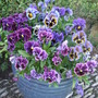 Pot of frilly pansies