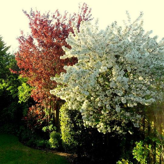Malus Blossom 15.05.13
