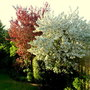 Malus Blossom 15.05.13