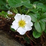 Fragaria_chiloensis_2013