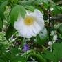 Camellia_japonica_devonia_2013