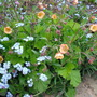 MORE OF THE BEAUTIFUL GEUM:-)