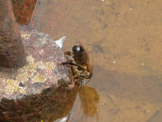 Bee having a little drink