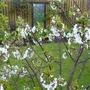 Through Cherry Blossom