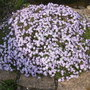 Phlox subulata Emerald Cushion Blue (Phlox subulata (Moss Phlox))