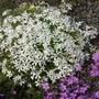 Phlox subulata White (Phlox subulata (Moss Phlox))