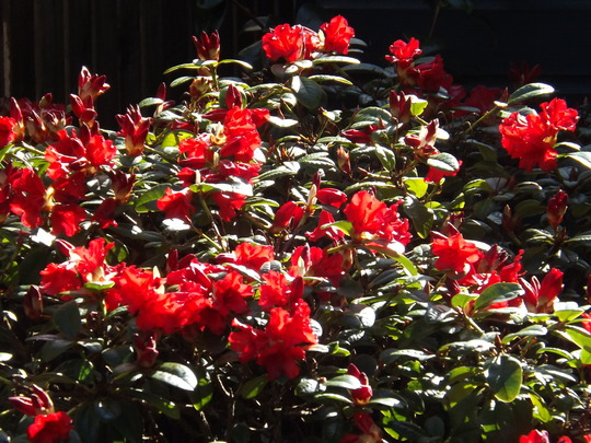 Rhododendron (Possibly Baden Baden) (Rhododendron)