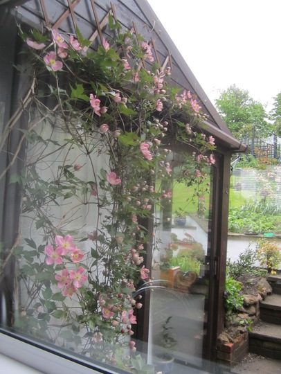 Through the kitchen window... (Clematis montana (Clematis))