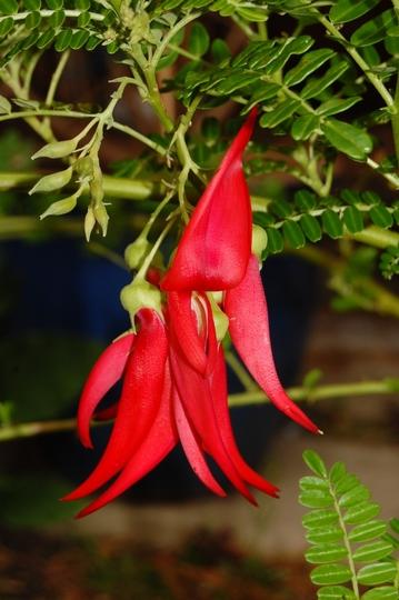 Clianthus puniceus (Clianthus puniceus (Kaka Beak))