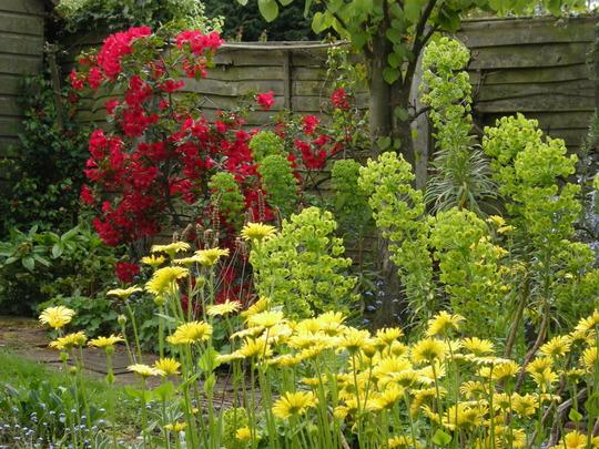 Rhododendron 'Baden Baden' with Euphorbia 'Humpty Dumpty' and Doronicum (Rhododendron 'Baden Baden')