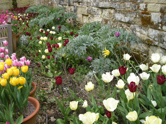 Tulips in the Courtyard border