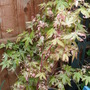 Acer... cant remembe rthe name.