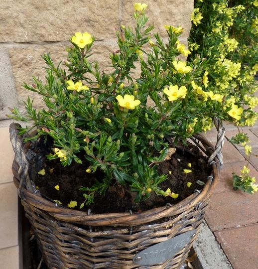 New plant...Halimium Libanotis (Halimium libanotis)